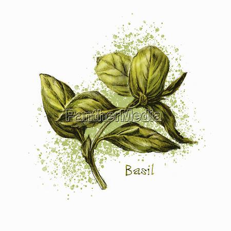 fresh, basil - 26014752