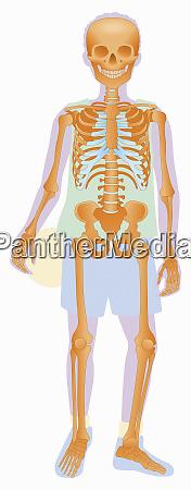 biomedical illustration of skeleton of boy