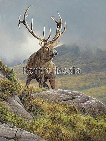 red deer stag cervus elaphus in