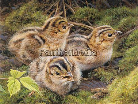 three pheasant chicks in grass