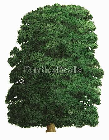 single tree on white background broad