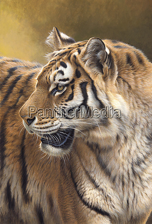 siberian tiger looking round