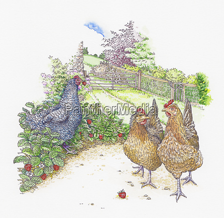 maran and welsummer chickens walking and