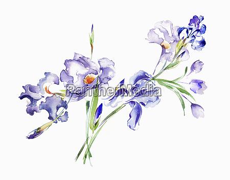 watercolour painting of purple irises