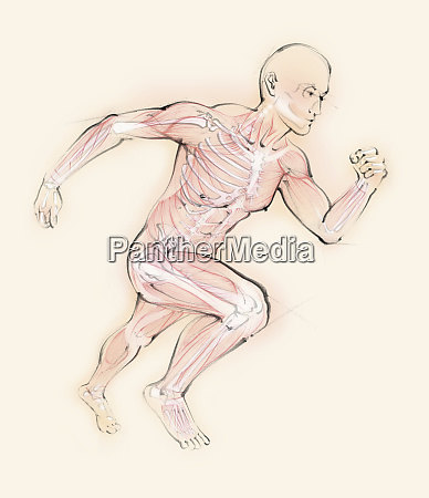 biomedical illustration of running man showing
