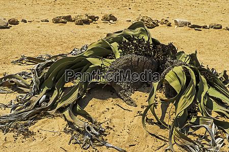 namibia swakopmund welwitschia plants