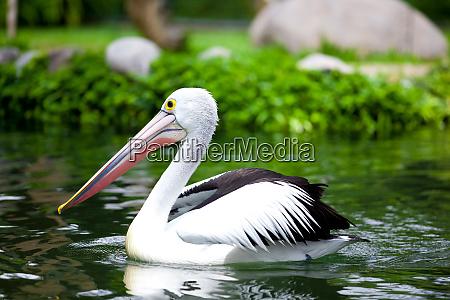 pelicans in the water