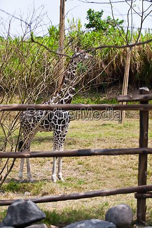 little giraffe giraffa camelopardalis