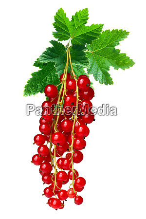 redcurrant bunch ribes rubrum paths