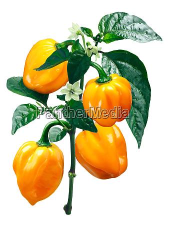 numex suave orange habanero chile paths