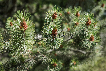 closeup of a fresh smelling fir
