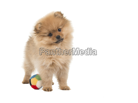 cute standing pomeranian puppy with a