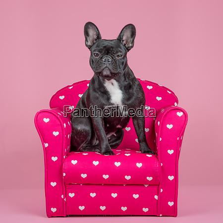 cute french bulldog on a pink
