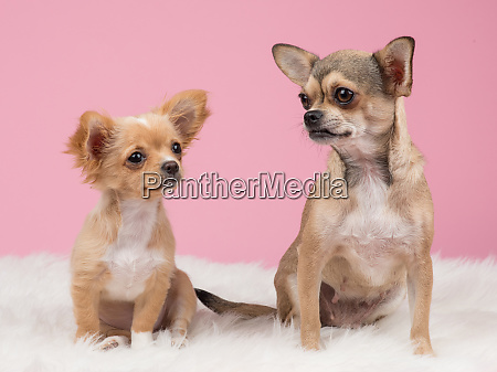 two cute chihuahua dogs at a