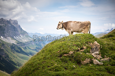 brown mountain cows grazing on an