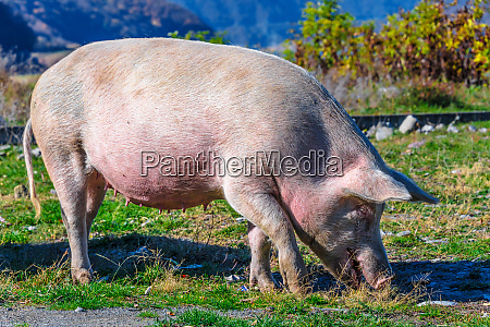 freely grazing pig on an organic