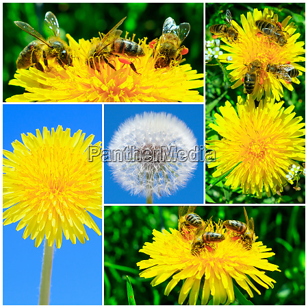photo collage with dandelions and bees