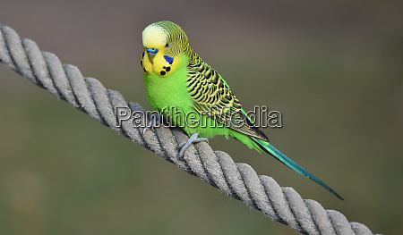 budgerigar sits on a rope