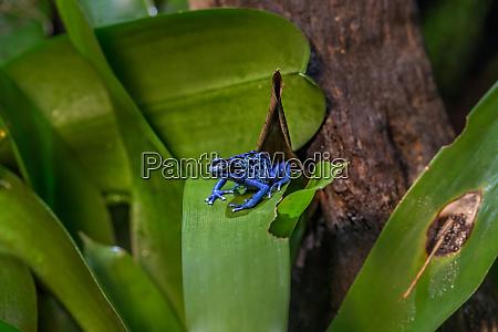 blue poison dart frog dendrobates