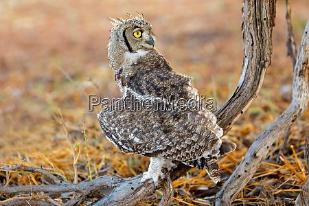 spotted eagle owl kalahari desert