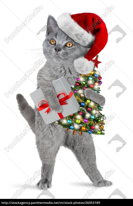cute, british, shorthair, kitten, standing, upright - 26053189