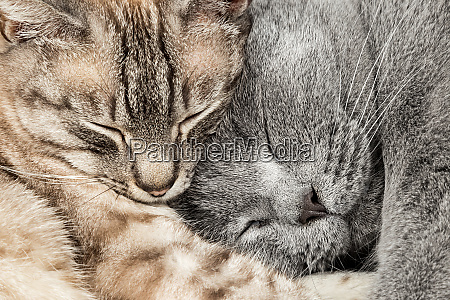 closeup of two sleeping cats