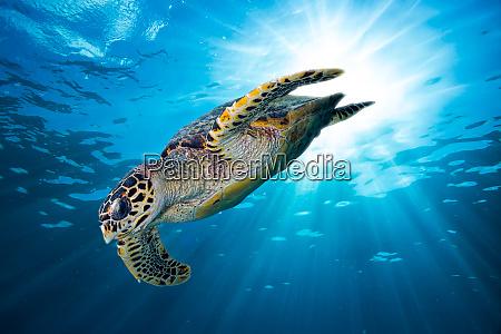 hawksbill sea turtle dive down into