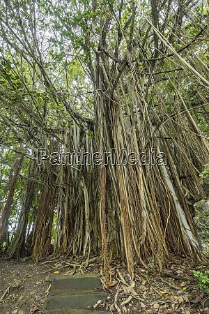mauritius balaclava rainforest