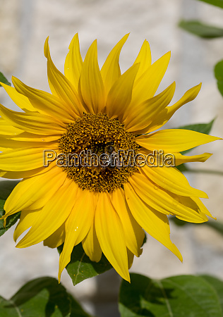 blooming sunflowers against the background of