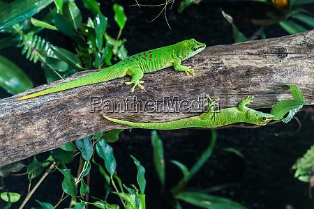 greater madagascar daytime gecko phelsuma