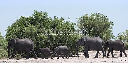 elephant group on the chobe river