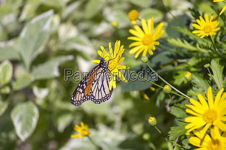 colorful monarch butterfly sitting on yellow