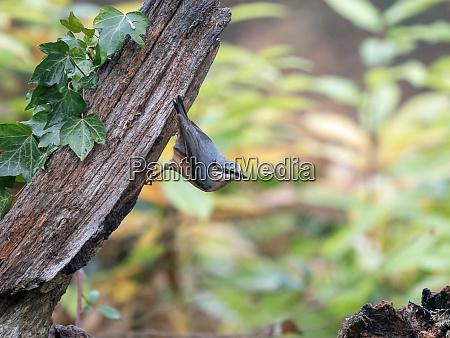 eurasian nuthatch on wood post