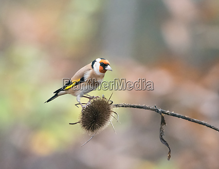 european goldfinch on teasel
