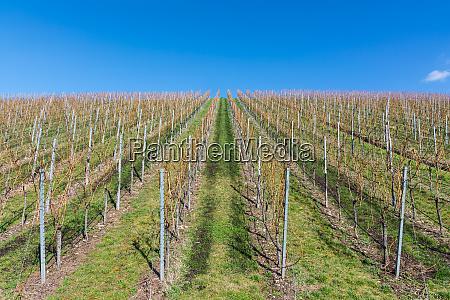 vineyard winter landscape empty green beautiful