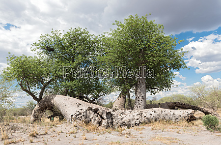 old broken baobab tree between tsumkwe