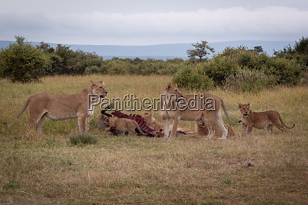 lionesses watch as cubs chew wildebeest