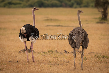 male and female ostrich turning heads