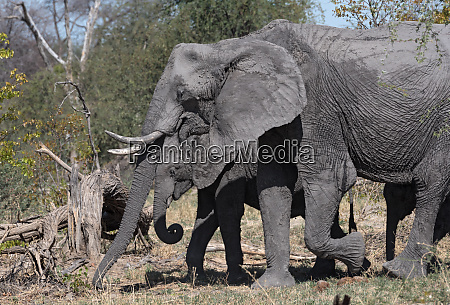 small elephant group in the dry