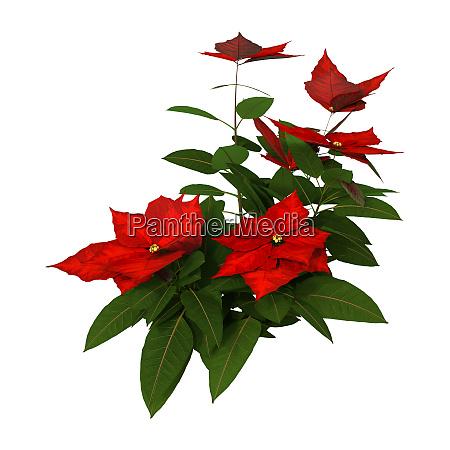 3d rendering christmas poinsettia plant on