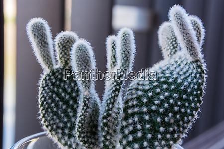 macro small fuzzy cactus decoration interior