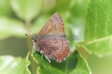 brown elfin callophrys augustinus perched on