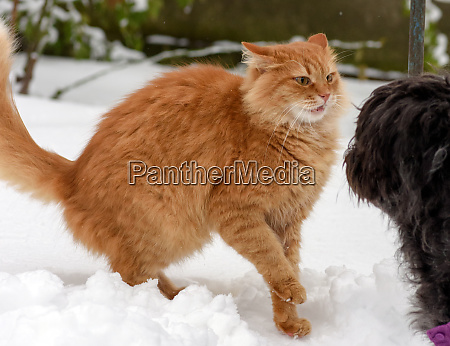 big red cat playing with a