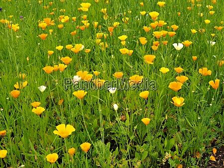 mexican golden poppy eschscholzia californica mexicana