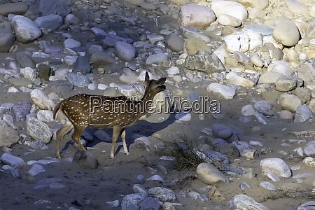 young chital or cheetal axis axis