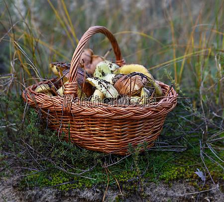 edible wild mushrooms in a brown