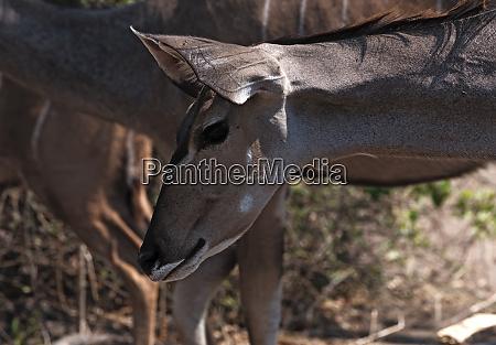 greater kudu female portrait in chobe