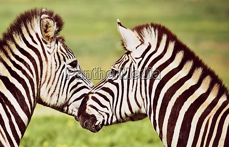 close up of two zebras