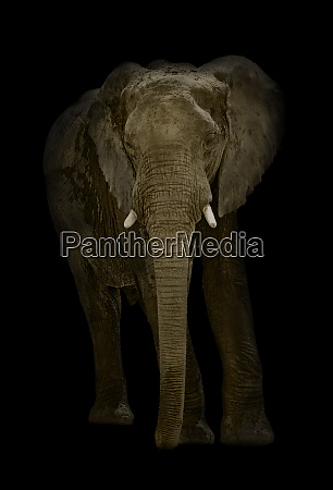 illustrated african elephant loxodonta africana on