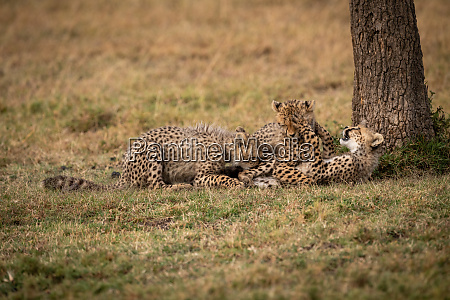 three cheetah cubs lying down play